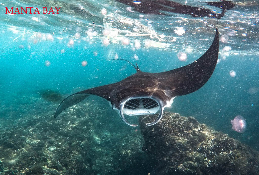 manta is very unique and snorkeling nusa penida